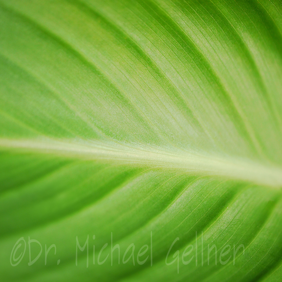 Canna - huge green leaf