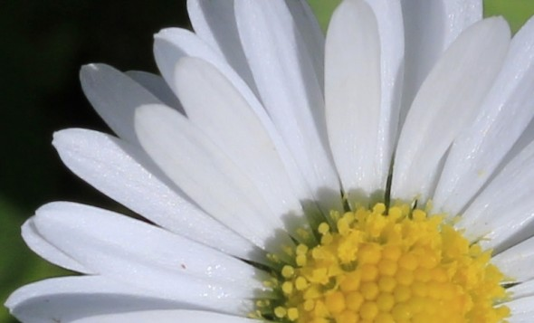 Gänseblume mit einer Canon EOS 600D aufgenommen